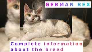 German Rex. Pros and Cons, Price, How to choose, Facts, Care, History