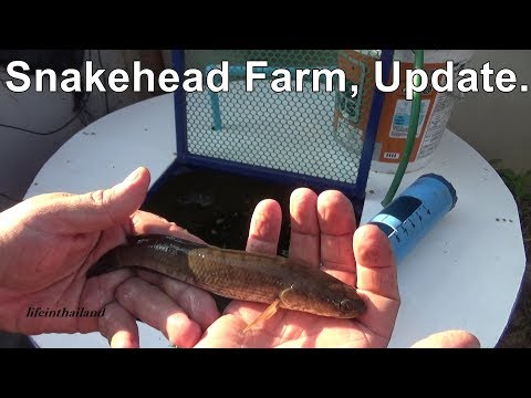 Snakehead Farm Update, Moving the fish.