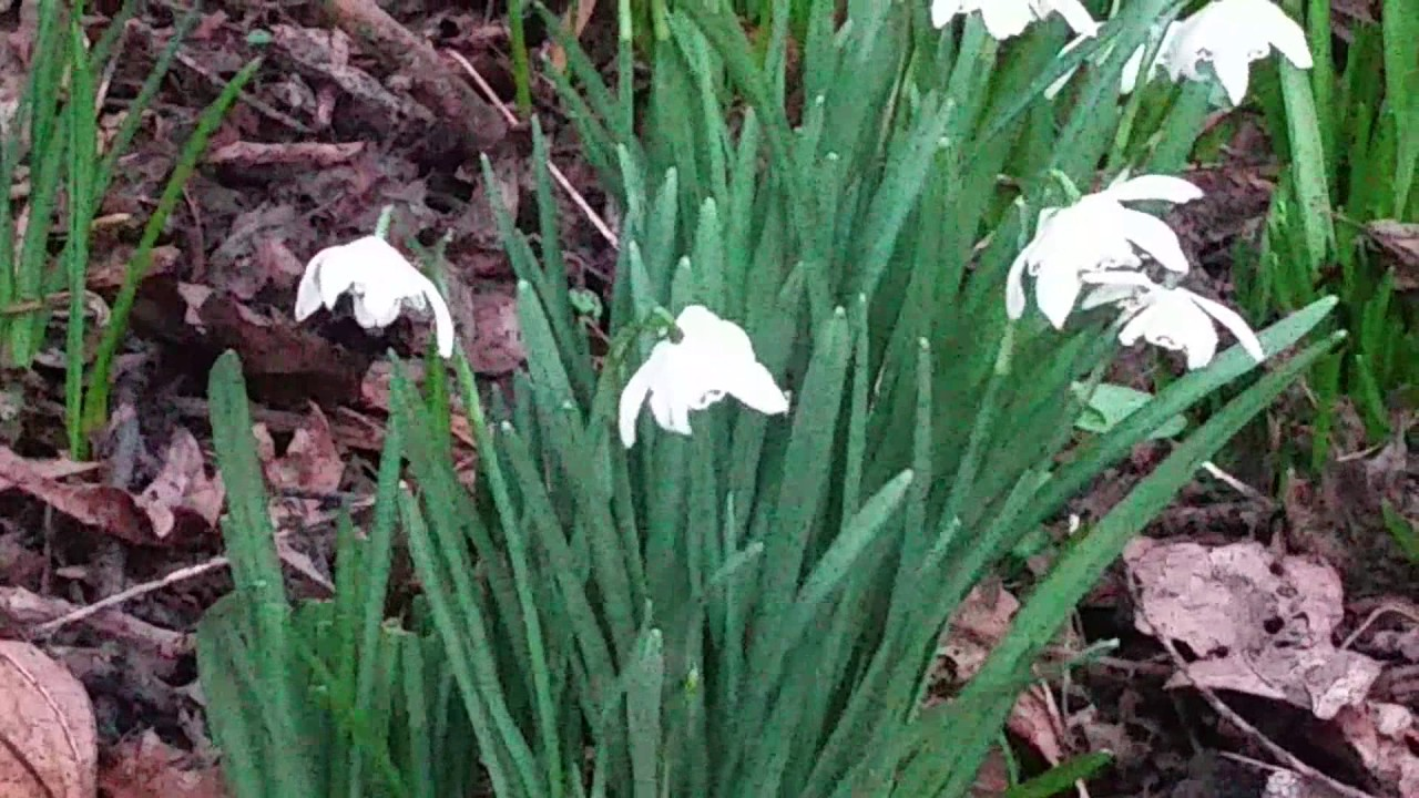 Abcyt Peter White Snowdrops Flowers Early Spring Flowers Youtube