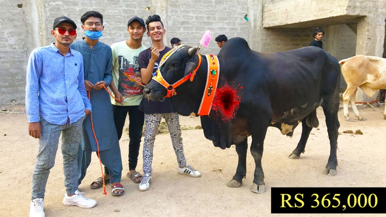 BAKRA VS COW DHEELA QASAI EID UL AZHA VIDEO | HYDERABAD VINES