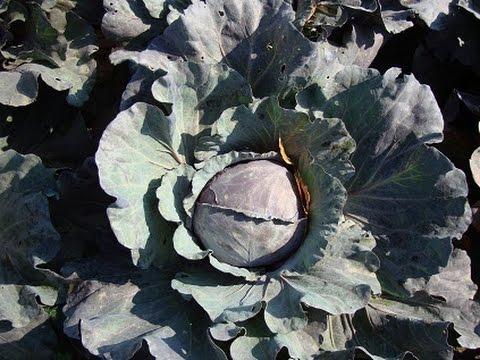 видео: Посев капусты в начале мая