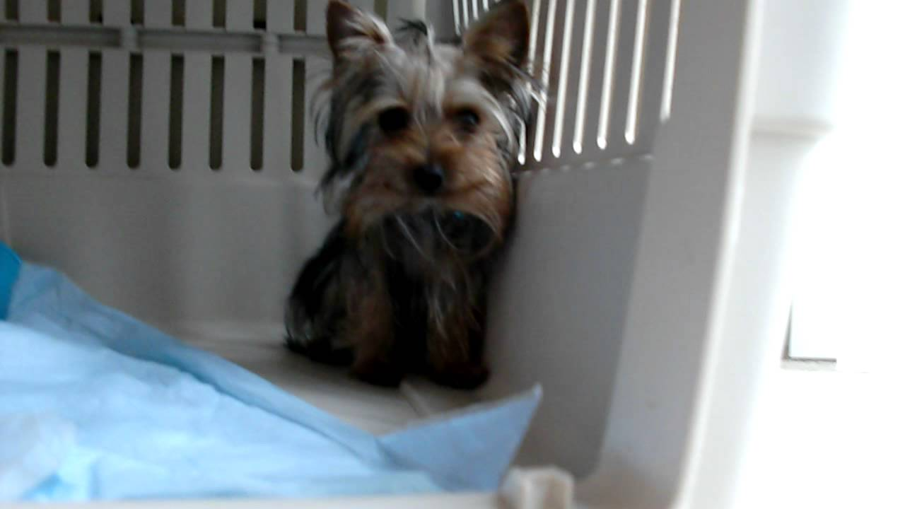 Priceless Yorkie Puppy Coby Yorkie Puppies For Sale In Michigan