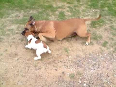pitbull jack russell