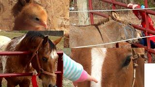 Farm Animals Play miniature donkey horses baby chicks chickens