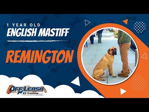 120lb-english-mastiff,-remington!-english-mastiff-off-leash-dog-training- -off-leash-k9