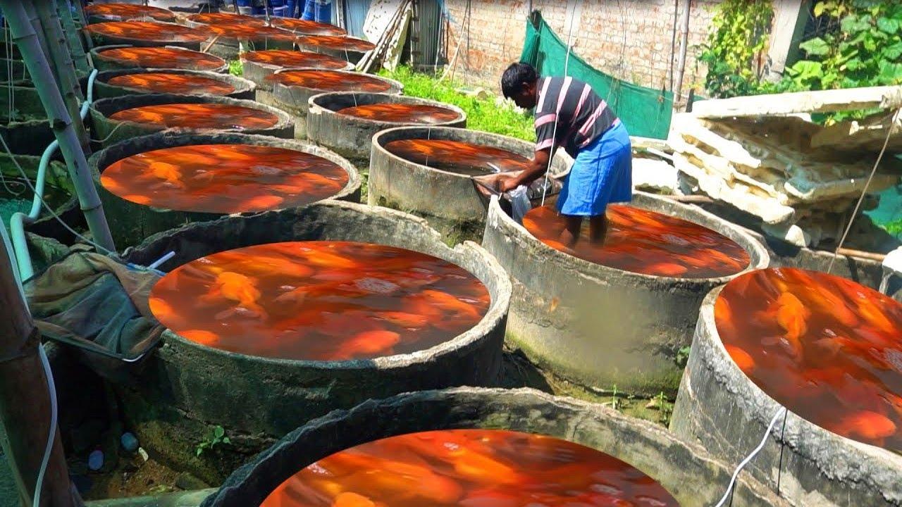 देखिये Factory में कैसे बनाई जाती है मछलिया ( Fish ) || See How Aquarium Fish Are Made In Factory