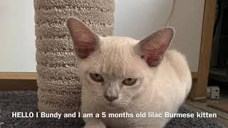 Bundy the new lilac Burmese cat