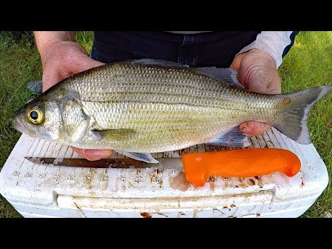 Catch And Cook White Bass - How To Catch White Bass & Striper - Fishing For White Bass.