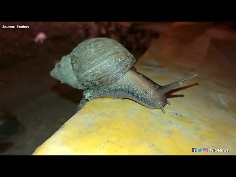 Giant snail invaders pose health concerns in Peru