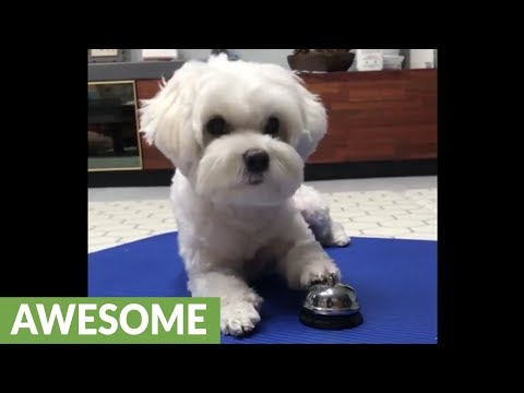 Smart puppy learns to ring bell for treats