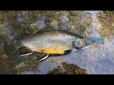 Kings River, Below Pine Flat Dam - Brook Trout Bait Finesse Style