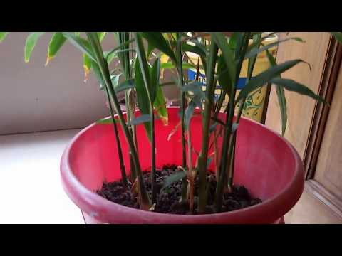 টবে আদা চাষ- Beauty of Nature II How to Cultivate  Zinger Plant in the Tub/Bucket?