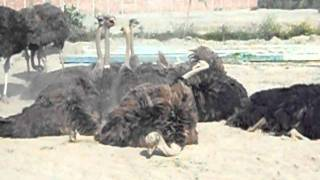 Ostrich in Lahore
