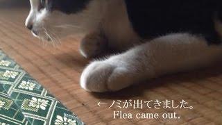 フロントラインを首元へ投下した、その後 【 To flea extermination, attach the front line to the cat. 】