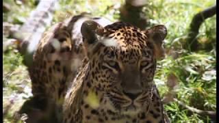 Common leopard collaring in Pakistan