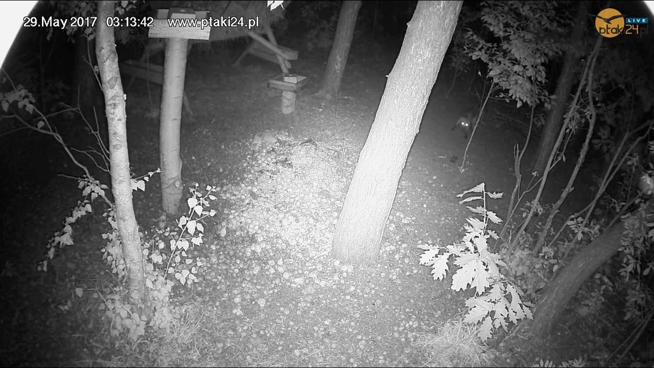 Młody lisek odwiedził karmisko w lesie na Podkarpaciu
