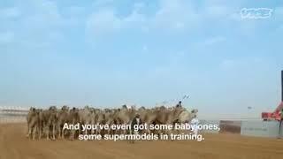 Saudi arabia's camel beauty contest