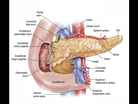 29 Fungsi Organ Tubuh Manusia Bagian Dalam Youtube