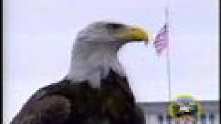 "Amazing Free-Flying Bald Eagle ""Challenger"" (AEF)"