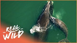 The Most Dangerous Migration On Earth (Whale Documentary) | Natural Kingdom | Real Wild
