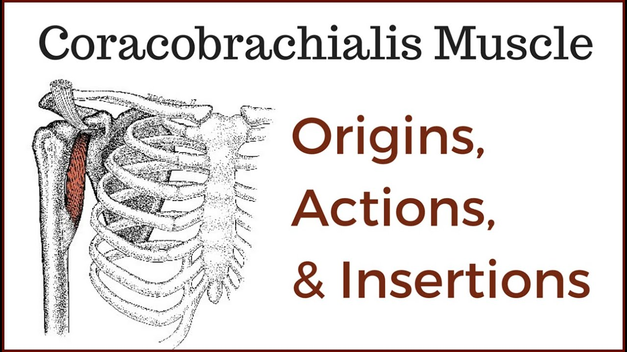 coracobrachialis muscle origin, insertion and actions - youtube, Muscles