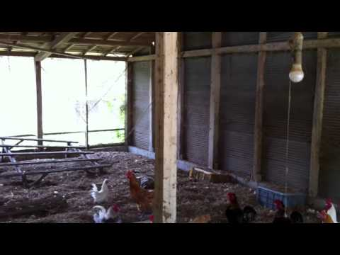 organic farm in Japan for Chicken
