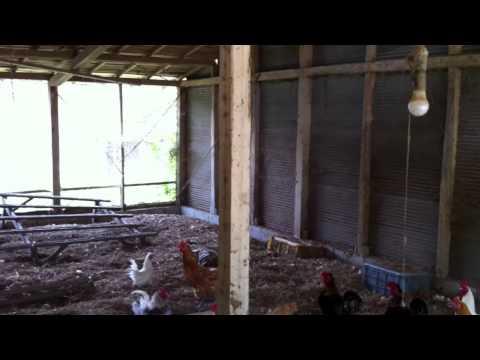 organic farm in Japan for Chicken