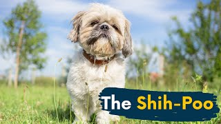 Shih Poo: 7 Things You Didn't Know About the Shih Tzu Poodle Mix!