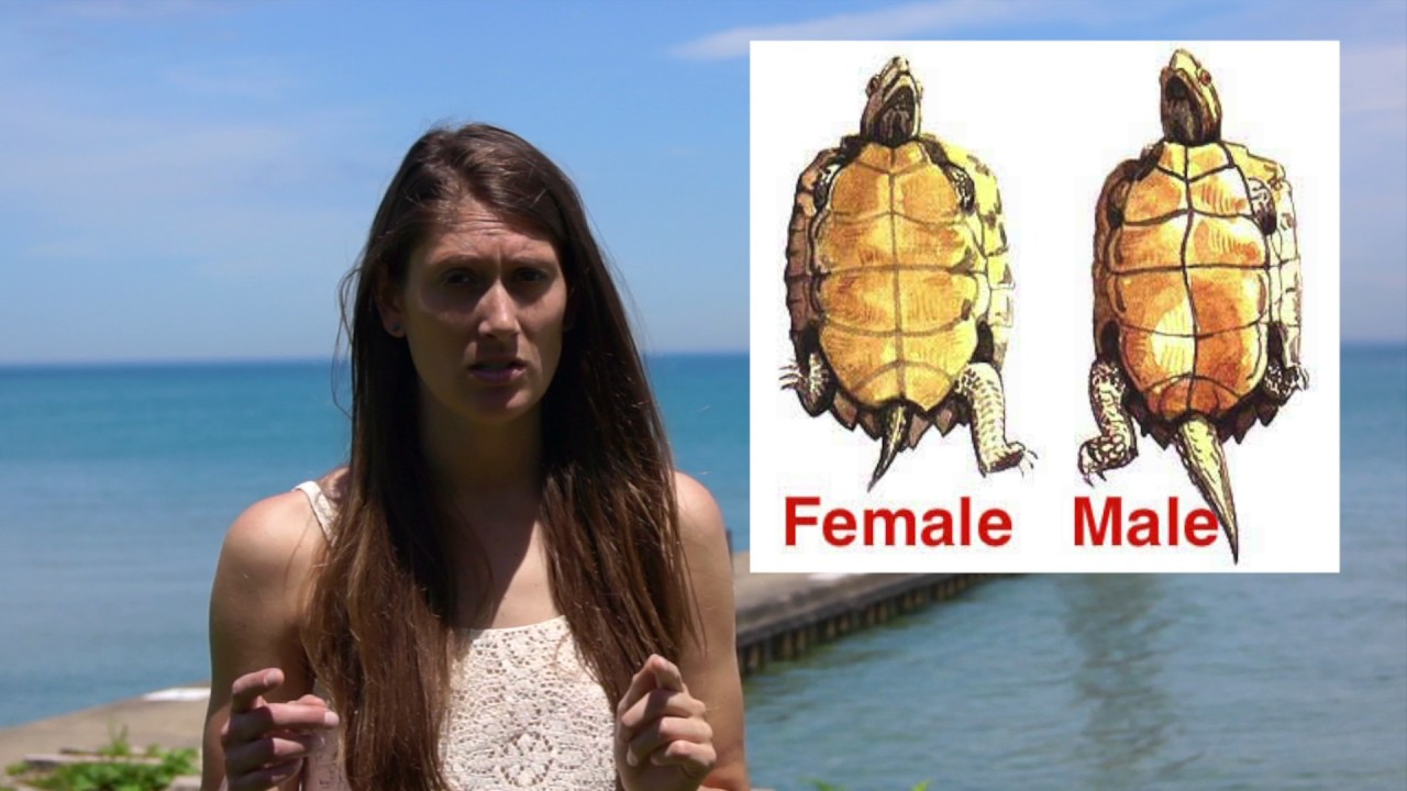 How Do I Tell Difference Between Male And Female Turtle -6519