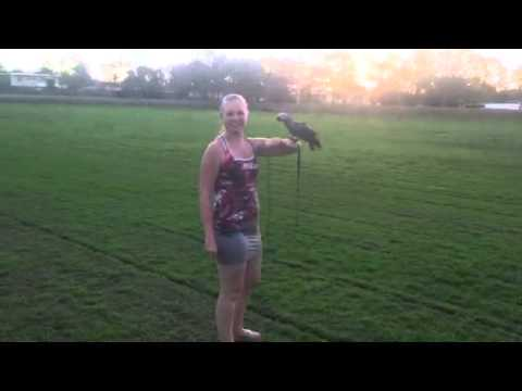 Baby African Grey Squizzy harness training #3