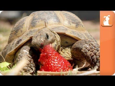 Just Chewin - Tortoise eats Strawberry