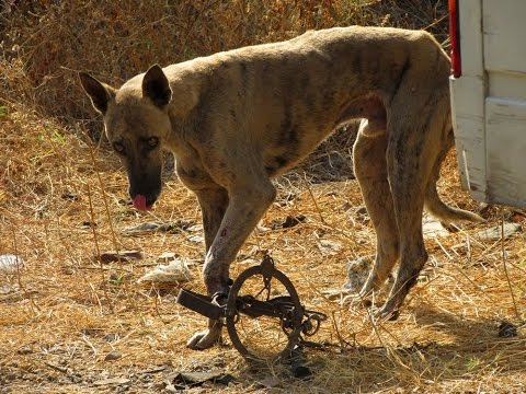 Rescue Dog ● Rescue street dog's foot caught in deadly trap [Hope For Paws – Animal Aid]
