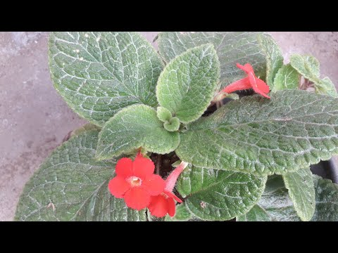 Flame violet/Episcia Plant care in malayalam