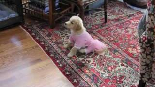 World's Cutest Cream Colored Golden Retriever Puppy Ballet Dancing The Nutcracker