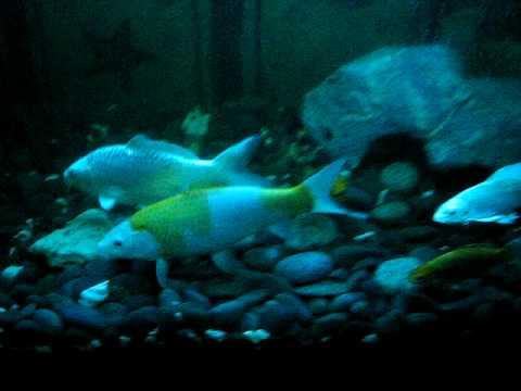 Koi Fish Breeding Youtube