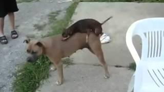 Собаки спариваются