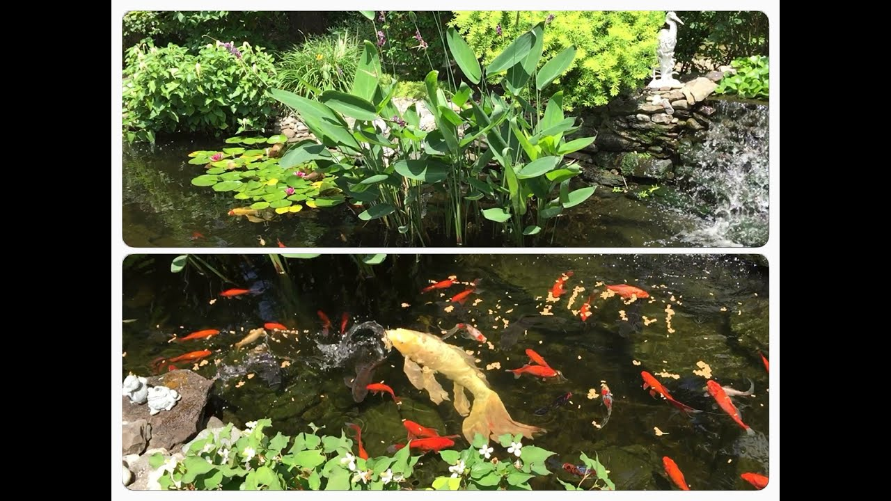 Koi Goldfish pond looks nice | Feeding 23 year old Butterfly Koi and fish