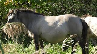 Wilde paarden in Horsterwolde  Zeewolde