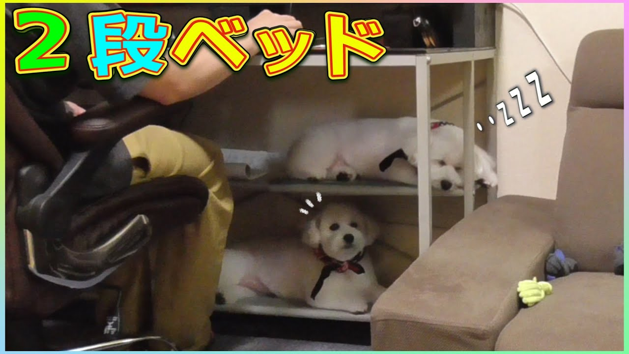 2段ベッドの上下を使って寝る犬!【トイプードル】