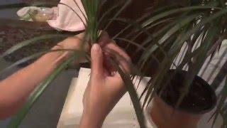 Моя драцена размножение видео(Размножение драцены в домашних условиях Драцена уход в домашних условиях Моя драцена размножение видео., 2015-08-21T18:00:02.000Z)