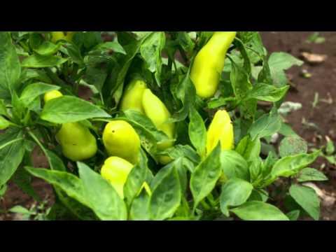 Organic Farming in Vavuniya Sri Lanka - www.growlanka.com