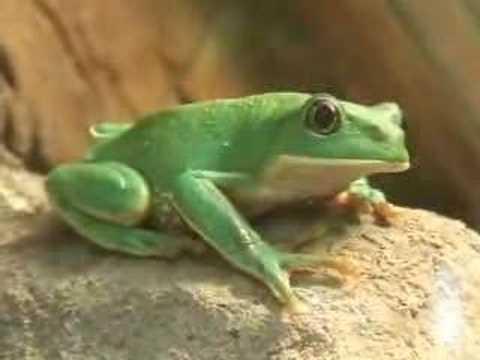 Las ranas en Mazatlan - YouTube