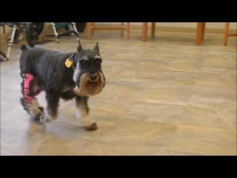 Daisy the Mini Schnauzer with Two My Pet's Knee Braces