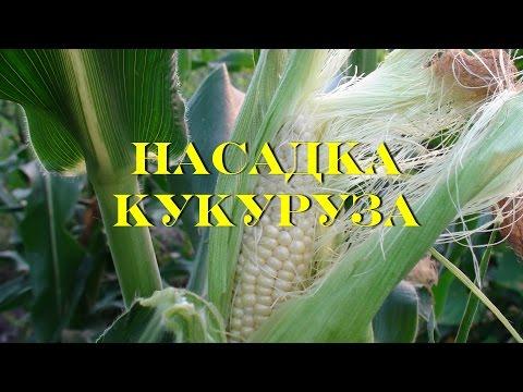 Супер уловистая насадка кукуруза.