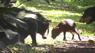 White-lipped Peccary at Cockscomb Basin Wildlife Sanctuary, Belize