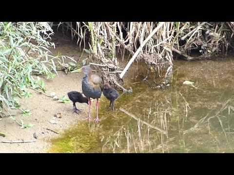 fauna brasileira MAMÃE SARACURA selvagem brazilian animal animais aves silvestres curiosas brasil