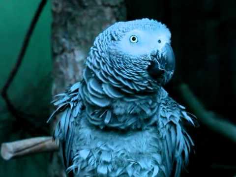Pappagallo che canta l'inno di mameli /Parrot sings Italian national anthem
