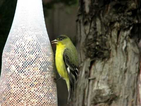 Lesser Goldfinch (male) on the feeder - close up
