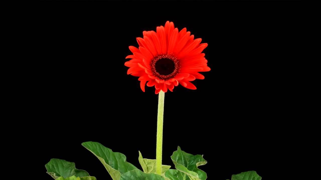 Red daisy flower in bloom youtube red daisy flower in bloom izmirmasajfo