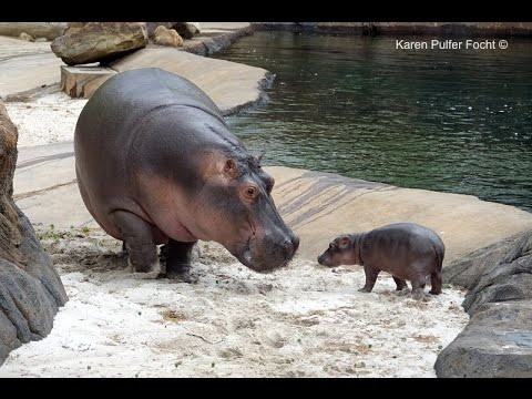 Baby Hippo Born At The Memphis Zoo